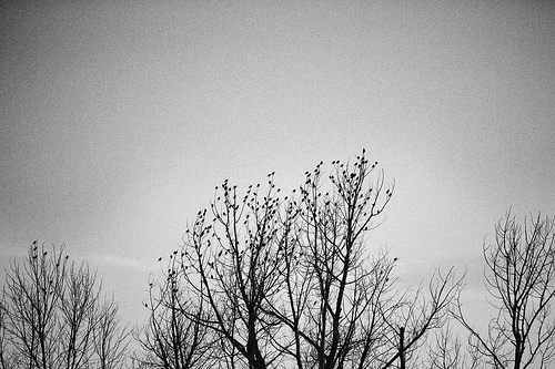 """Mass Bird Exodus from Tree BW"" by Tyler Knott"